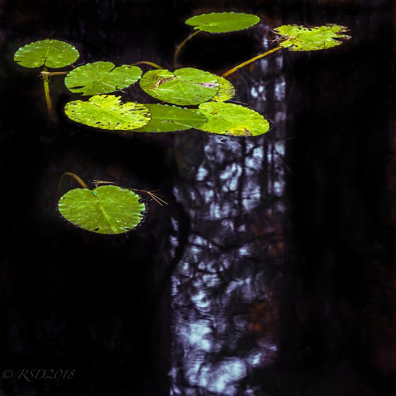 Photograph of lily pads against a black background