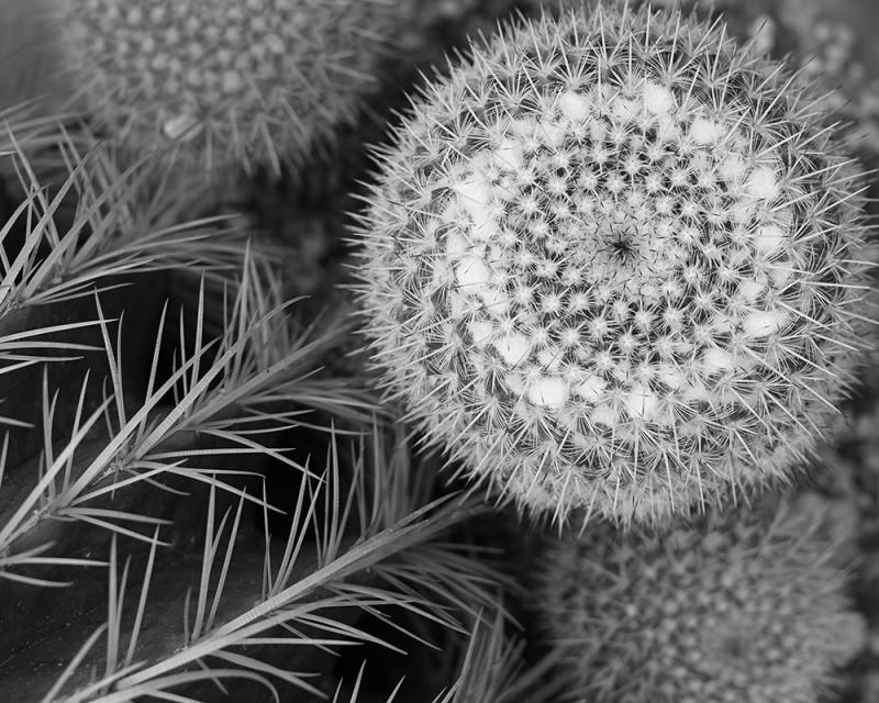 Black and white close up photograph of a fuzzy dandelion