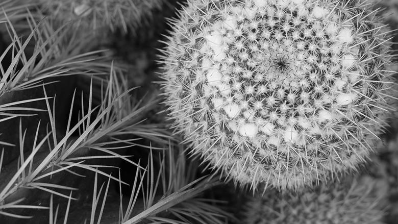 Black and white close of photograph of a dandelion